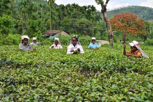 Tea Garden near Garubathan